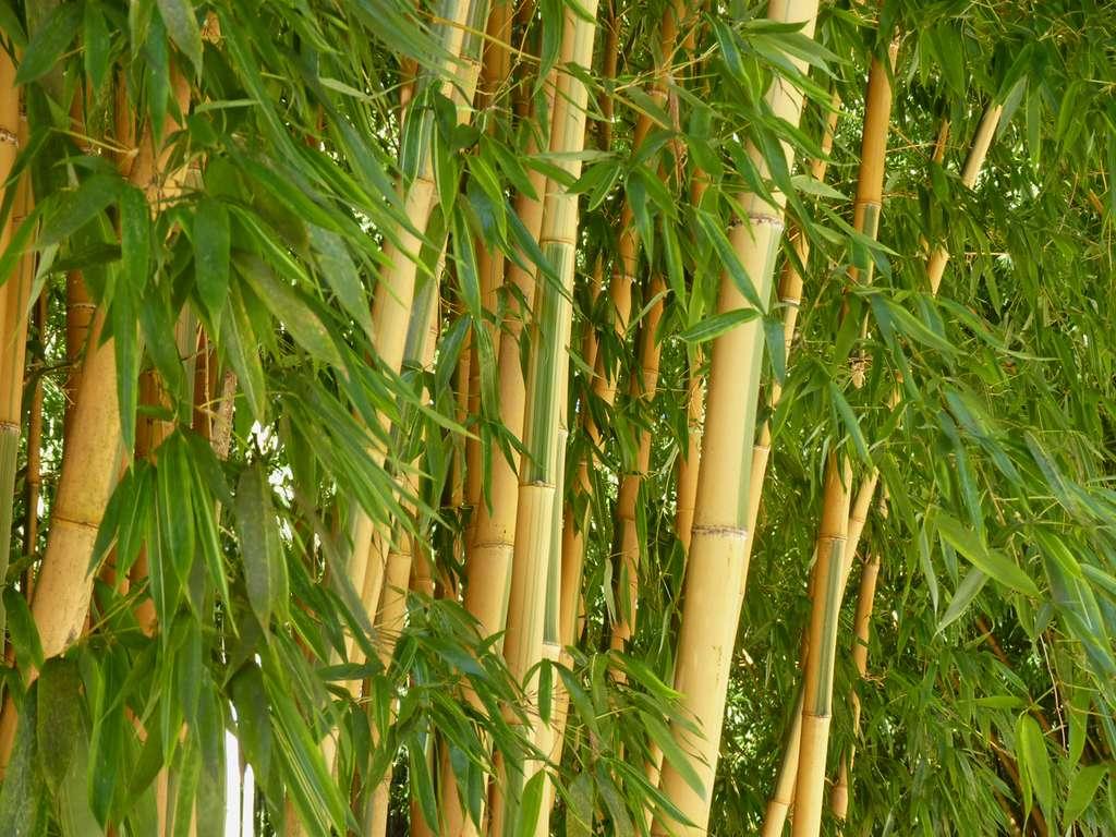 Le bambou apprécie la chaleur et l'humidité mais il résiste aussi au froid comme ici, à la bambouseraie d'Anduze, en France. © AB - Tous droits réservés