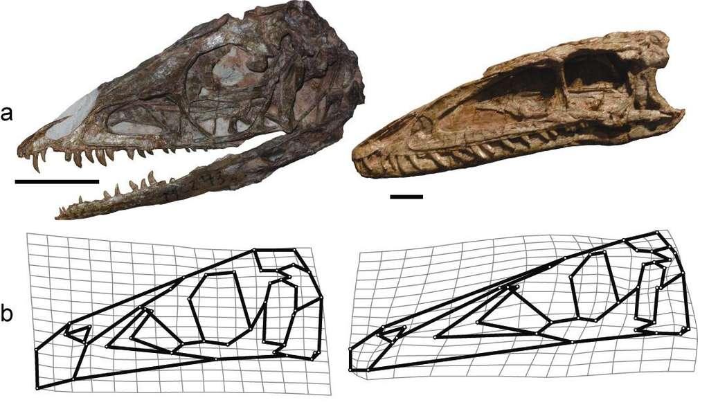 Le crâne des Coelophysis, un théropode, subit un changement de forme conséquent entre le stade juvénile (gauche) et le stade adulte (droite). Les oiseaux descendraient de dinosaures ayant conservé les caractéristiques juvéniles après avoir acquis leur maturité sexuelle. © Bhart-Anjan Bhullar et al. 2012, Nature