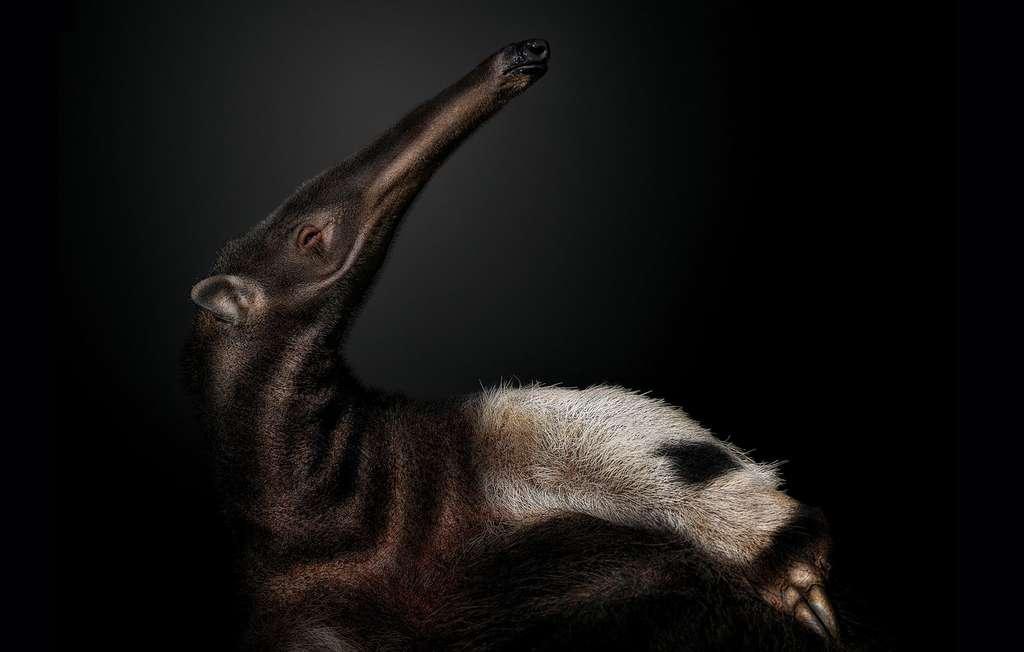 Le fourmilier, un mammifère sans dents, mais aux griffes acérées