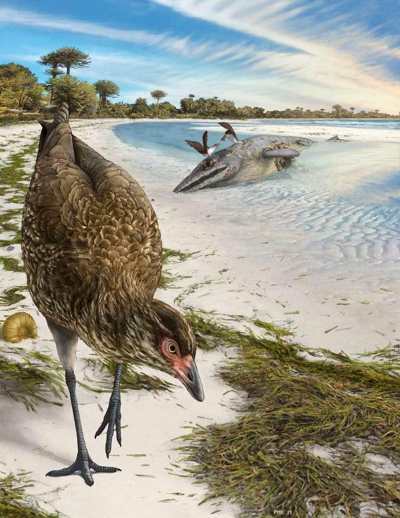 Asteriornis maastrichtensis vivait il y a 66,7 millions d'années sur les côtes belges, où l'environnement ressemblait alors aux plages tropicales des Bahamas. © Phillip Krzeminski