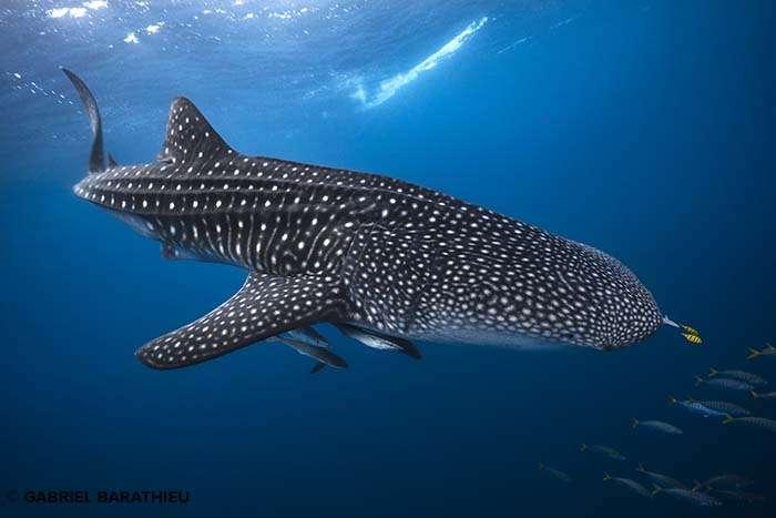 Un requin-baleine accompagné par ses rémoras et ses carangues royales. © Gabriel Barathieu, tous droits réservés