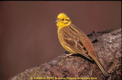 Bruant jaune- Copyright Frédéric FEVE - tous droits réservés.