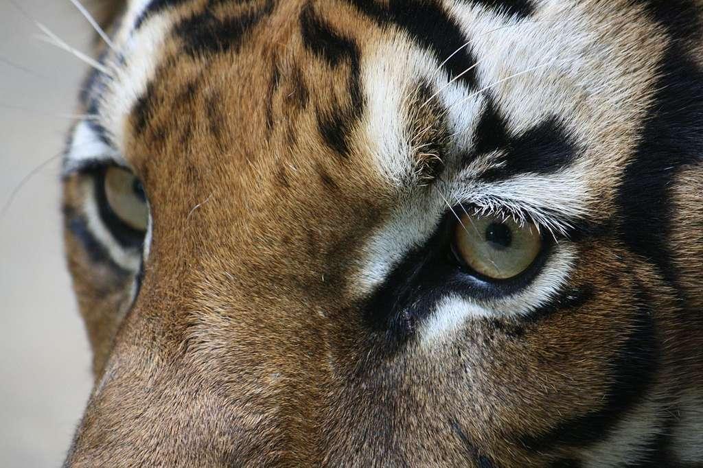 Gros plan d'un tigre (Panthera tigris corbetti). © Matej Batha, CC by 3.0