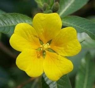 La jussie, fleur invasive. © DR