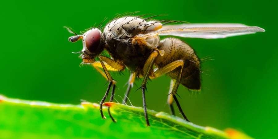 L'étude a porté sur 43 espèces de mouches à fruit (Drosophila). © nechaev-kon, Getty Images