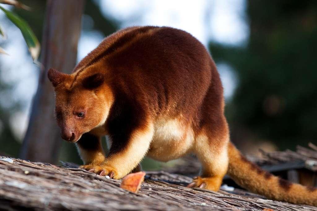 Le kangourou des arbres, ou dendrolague, un fin acrobate