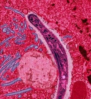 Le plasmodium de la malaria. Crédit : Margaret Shear