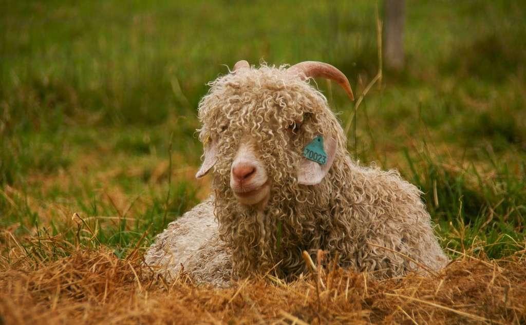 La laine mohair est issue de la toison de la chèvre angora. © Mohair du Pays de Corlay