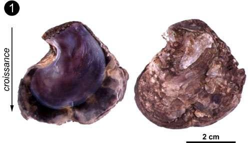 """Exemple de coquille de bivalve ayant une couche calcitique et une couche aragonitique. Photo 1 : Les deux valves d'une """"huître"""" de mangrove (Isognomon isognomon - Kenya) © C.E. Lazareth. Reproduction et utilisation interdites"""