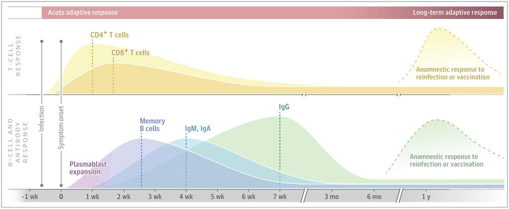 Le schéma général de la réponse immunitaire adaptative anti-SARS-CoV-2. La courbe du haut concerne les lymphocytes T et celle du bas les lymphocytes B et les anticorps. © David S. Stephen et Juliana Mc Elrath, Jama