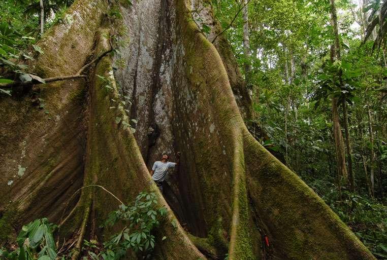 Racines en contrefort d'un kapokier (Ceiba pentandra). © Sylvain Lefebvre et Marie-Anne Bertin, DR