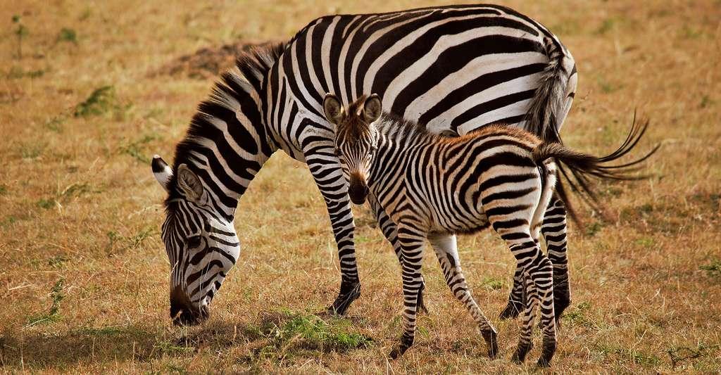 Zèbre et son petit, photo prise au Kenya. © Jm Soares, Domaine public