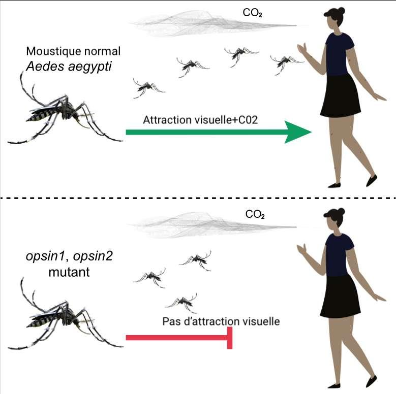 Le moustique Aedes aegypti a besoin de deux indices concomitants pour repérer ses proies : une tache sombre et un flux de CO2. En l'absence de l'un ou de l'autre, il devient incapable de se diriger. © Yinpeng Zhan et al., Current Biology, 2021