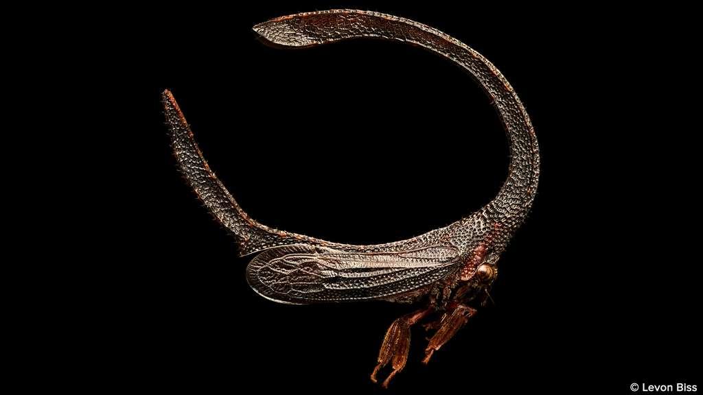 Cladonota sp., un insecte très surprenant