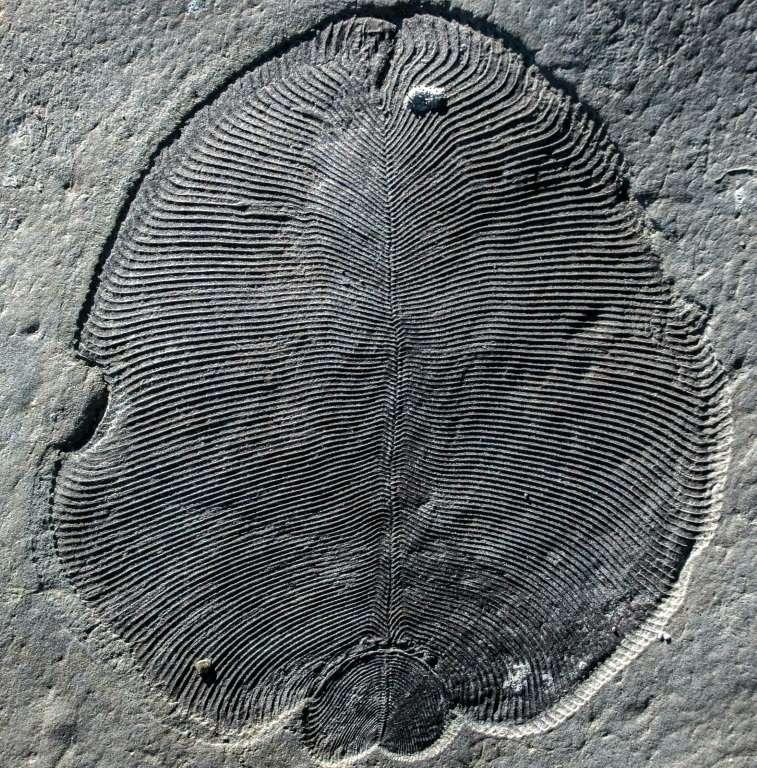 Un fossile de Dickinsonia, une créature vieille de 558 millions d'années, sur une photo non datée fournie par l'Australian National University. © Ilya Bobrovskiy, Australian National University, AFP