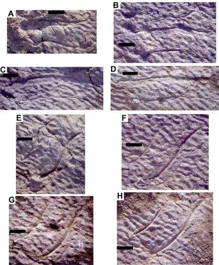 Des griffures de dinosaures découverte dans du grès, où l'on remarque aussi des ripple marks, c'est-à-dire des reliefs sculptés par l'eau courante. L'animal devait nager dans une eau peu profonde. © Loïc Costeur