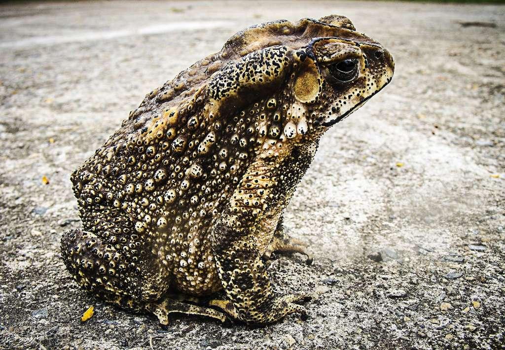 La peau du crapaud présente généralement bon nombre de pustules. © Josch13, Pixabay, DP