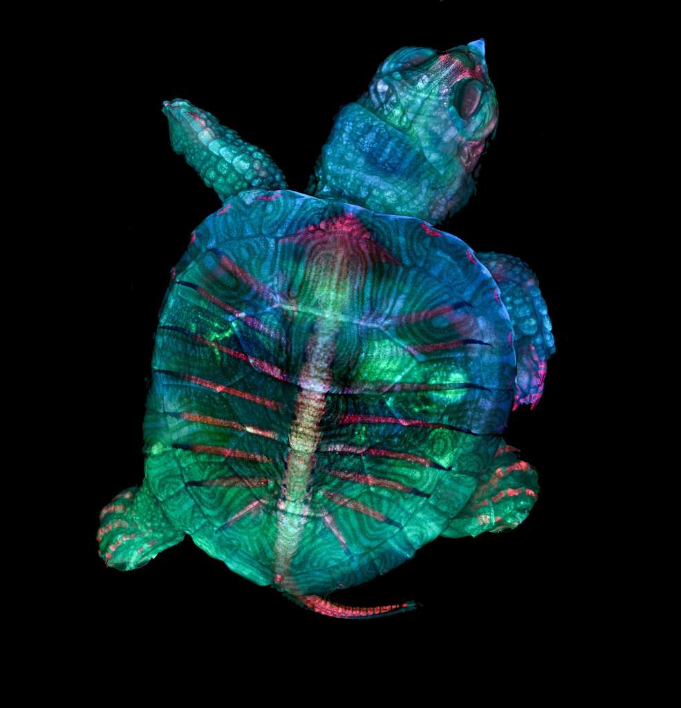 Cette étonnante photo d'un embryon de tortue remporte le 1er prix Nikon Small World 2019. © Teresa Zgoda, Teresa Kugler, Nikon Small World