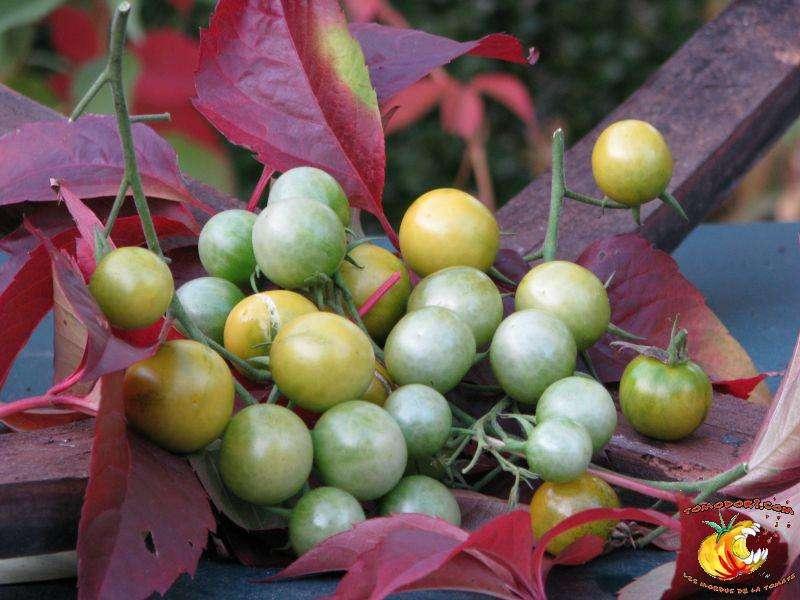 Tomates Raisin vert. Lorsqu'elles sont mûres, leur couleur dominante passe du vert au jaune. © Tomodori