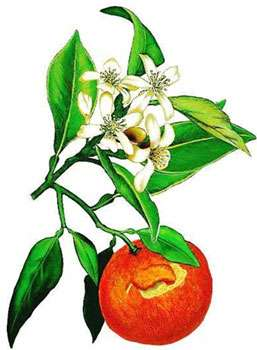 Oranger. © DR