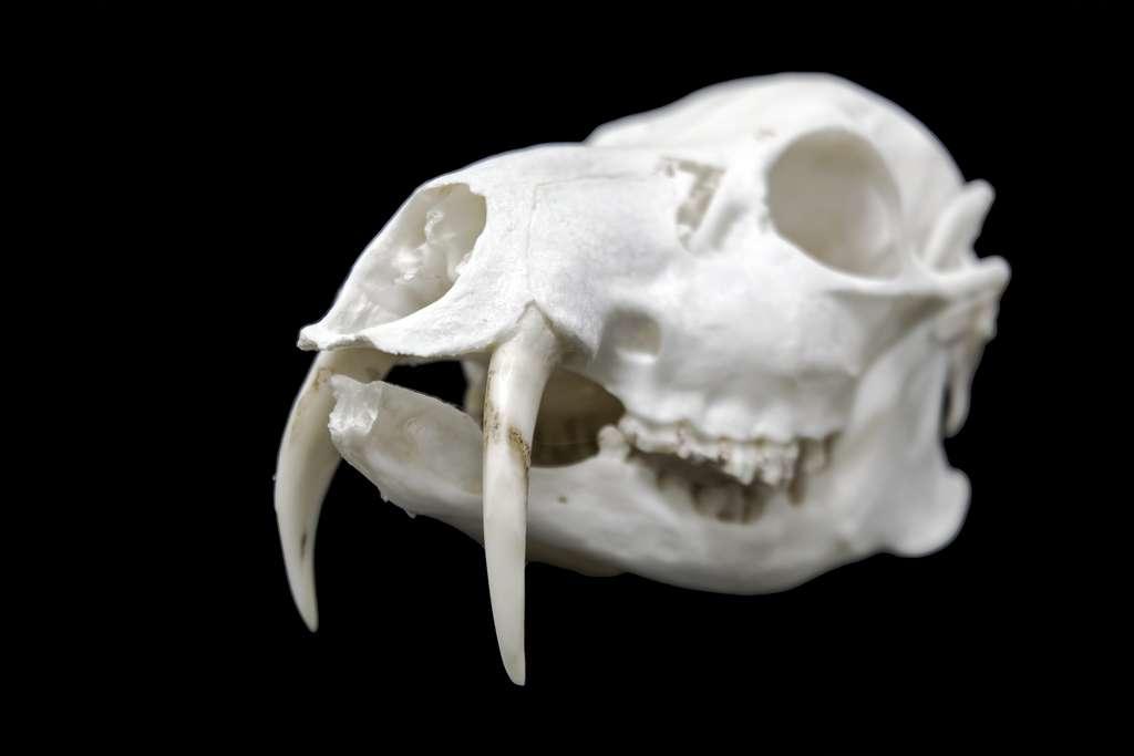Sur ce crâne d'hydropote, on voit parfaitement la taille impressionnante que ses défenses peuvent atteindre. © belizar, Adobe Stock