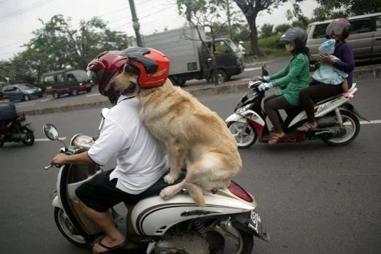 Un homme et son chien à scooter. © Juni Kriswanto, AFP, Archives