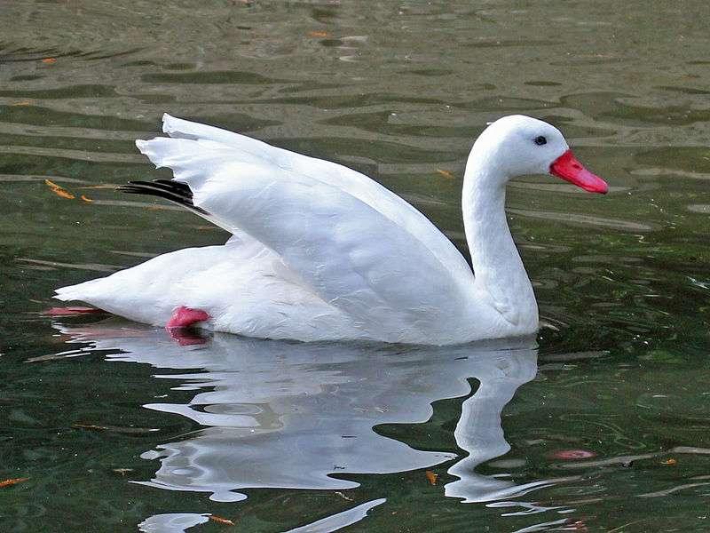 Le coscoroba blanc est l'hôte de nombreux zoos. © DickDaniels, Wikipédia, cc by-sa 3.0