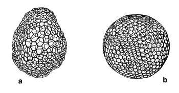 Modèles physiques de la structure squelettique des radiolaires (d'après Thompson, 1942). a : Structure d'un réticulum plasmatique résultat de tensions superficielles. b : Structure d'un squelette de Radiolaire (Auloniahexagona).