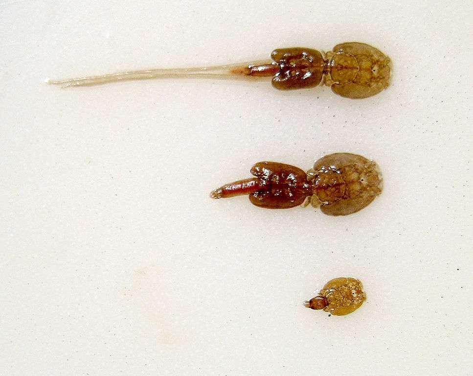 Poux du saumon : 1. Femelle adulte avec des ficelles d'œufs. 2. Femelle adulte sans ponte. 3. Pou immature. Norwegian Aquaculture Center, Brønnøy, Norwa. © Thomas Bjorkan, Wikimedia commons, CC 3.0