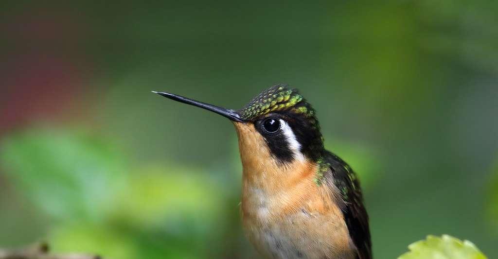 Colibri à gorge pourprée. © Cephas, Wikimedia commons, CC by-sa 4.0