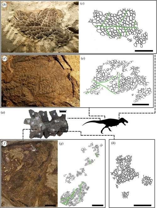 Empreintes de peau fossile et leur emplacement sur le corps du tyrannosaure décrit dans une publication de 2017, qui ont encouragé les paléoartistes et paléontologues à donner une peau écailleuse sans plumes au T-Rex. © Phil Bell et al., Biology Letters, 2017