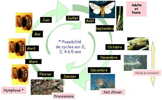 Figure 1 : cycle biologique moyen de la processionnaire du pin en France. © Jean-Claude Martin, DR
