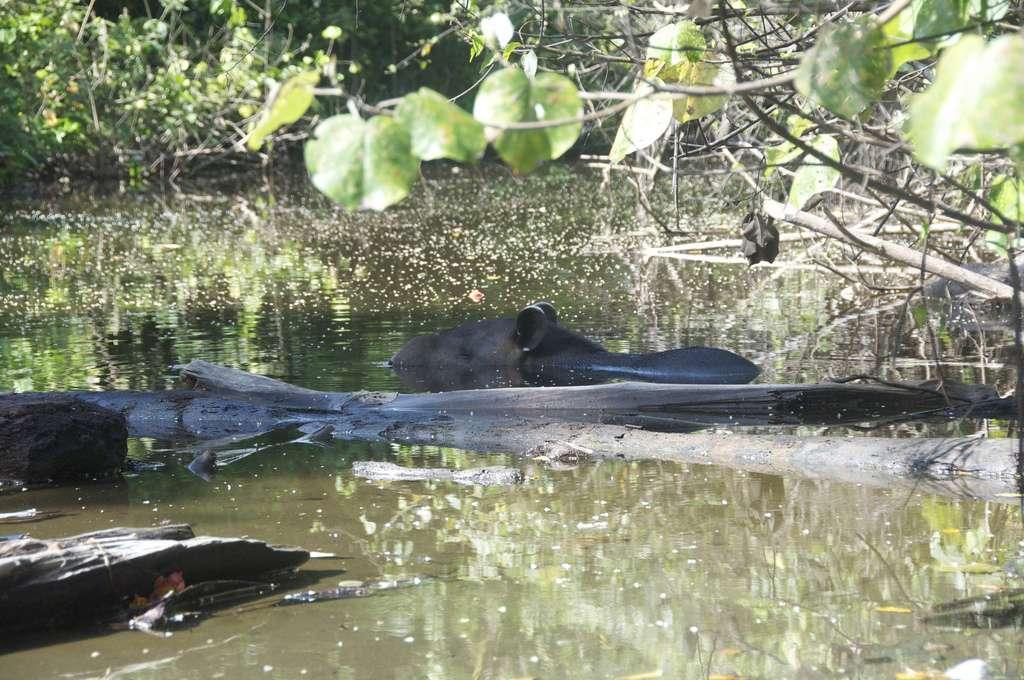 Tapir de Baird au bain. Il s'agit de l'une de ses activités favorites pendant les heures chaudes de la journée. © kellan, Flickr, cc by nc nd 2.0