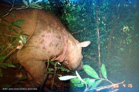 Image du rarissime rhinocéros dit de Sumatra (Crédits : WWF-Malaysia/Sorel 2006)