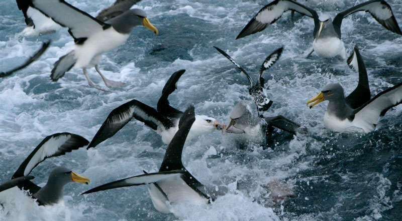 Les albatros suivent les chalutiers, pour attraper les poissons rejetés à la mer. © Claire Nouvian