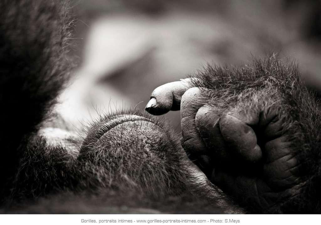 Gorille amenant son doigt à la bouche