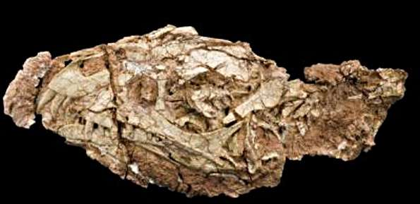 Le fossile retrouvé au Ghost-Ranch ne contenait que le crâne et des vertèbres cervicales. © Carnegie Museum of Natural History