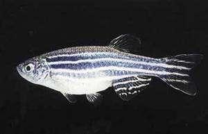 Le poisson zèbre est rarement insomniaque et ne s'autorise jamais de sieste… © C. Thisse