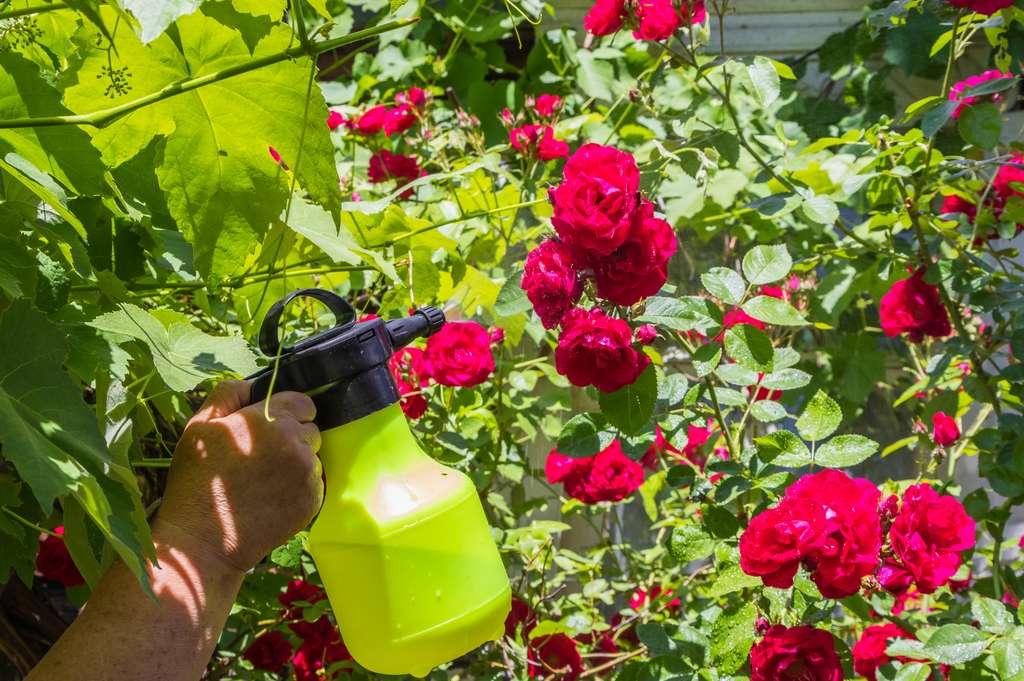 Le savon noir est un insecticide naturel que l'on peut vaporiser sur les fleurs comme sur les plantes potagères. © Taras, Adobe Stock