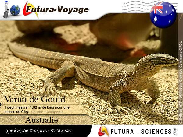 Varan de Gould - saurien d'Australie