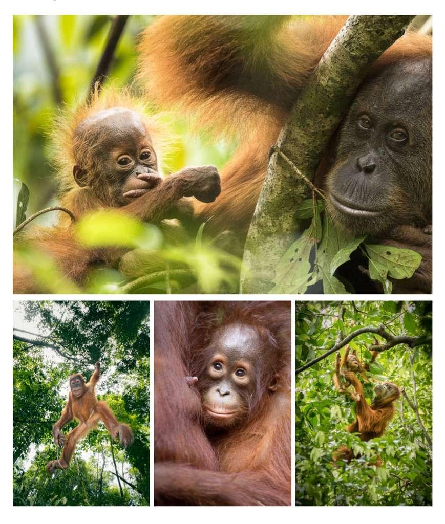 La mère orang-outan se charge seule de l'éducation de son petit. L'apprentissage est long, il dure sept à huit ans. © Maxime Aliaga, tous droits réservés