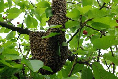 Essaim d'abeilles dans un cerisier. © Christophe Pace, CC by-nc 2.0