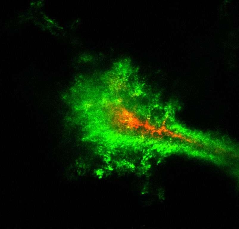 Image obtenue en temps réel de la diffusion des nanoparticules dans le cerveau d'un rongeur. Recouvertes de polyéthylène-glycol (en vert), les nanoparticules diffusent plus rapidement que celles qui en sont dépourvues (en rouge). © Elizabeth Nance, Graeme Woodworth, Kurt Sailor
