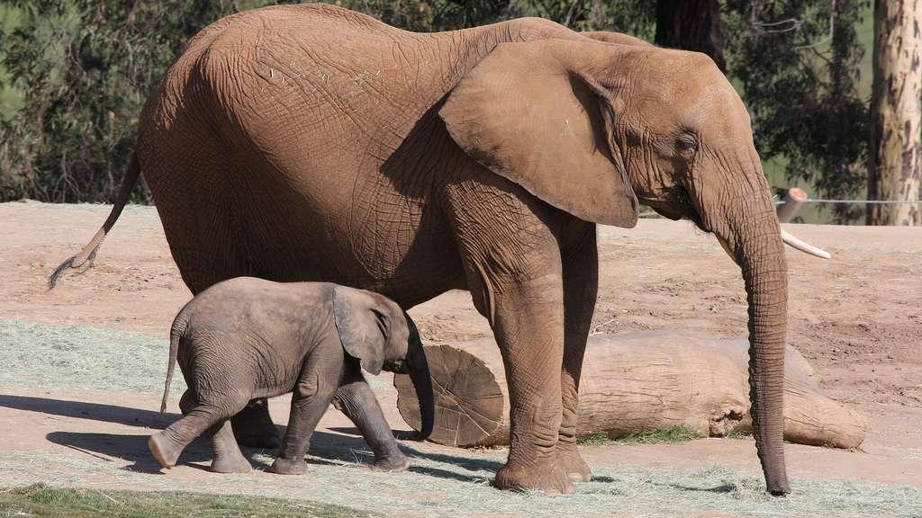 Photo L Elephanteau Un Petit Elephant