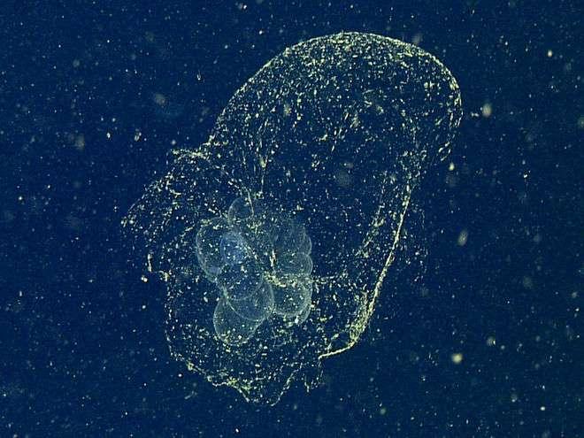 Un larvacé, en l'occurrence Bathochordaeus charon. L'animal, minuscule et peu visible, se trouve au centre de la région blanchâtre, qui est la partie interne de sa logette. La partie externe est bien plus transparente et se repère grâce aux plus petits habitants du plancton qu'elle retient. Ce filtre est en train de se boucher et l'invertébré va devoir s'en extraire et reconstruire une autre logette. © MBari