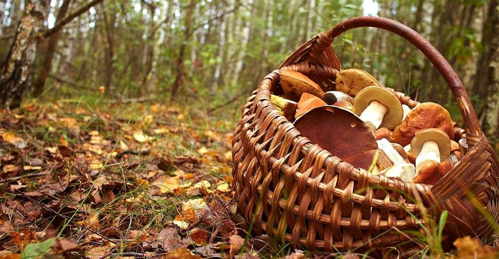 La cueillette des champignons en forêt est une activité très plaisante. © Allstars, Shutterstock