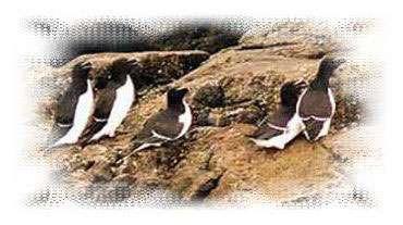 Pingouin Torda - littoral85.com ©2003