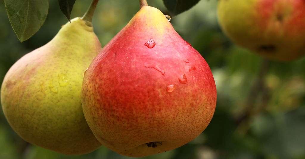 Une délicieuse poire de Groslay. © Rkrl001, Pixabay, DP