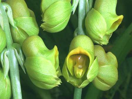 Catasetum planiceps. © Éric Hunt