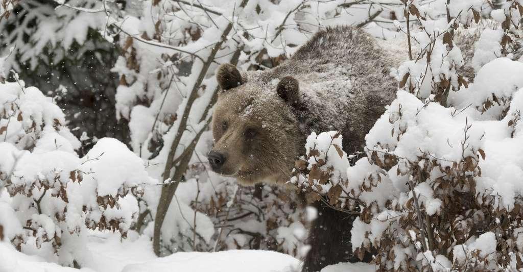 Quand le mercure descend, l'ours hiverne. Il trouve un abri pour se protéger, mais n'expérimente pas le même état de léthargie que les animaux qui hibernent. © Xavier Klaussner, Fotolia
